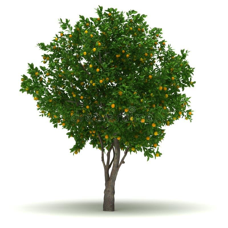 Single Orange Tree. Single Citrus Sinensis Tree ( white background stock illustration