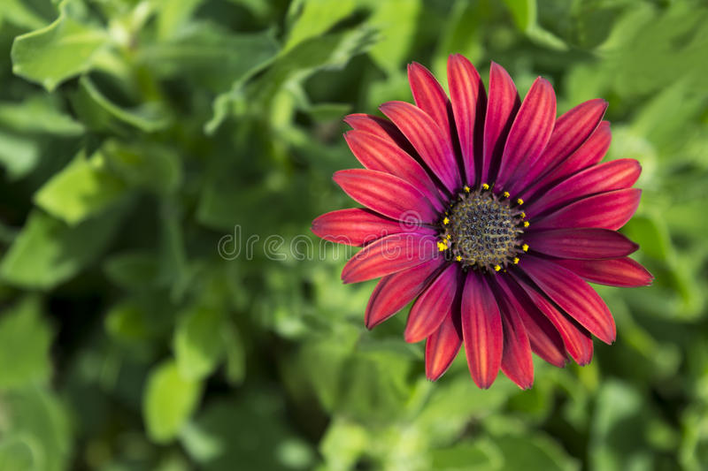 Single Osteospermum `Elite Ruby` Flowerhead. Single Osteospermum `Elite Ruby` flowers in the garden. Primary focus on the centre heart of the flower with very stock photos