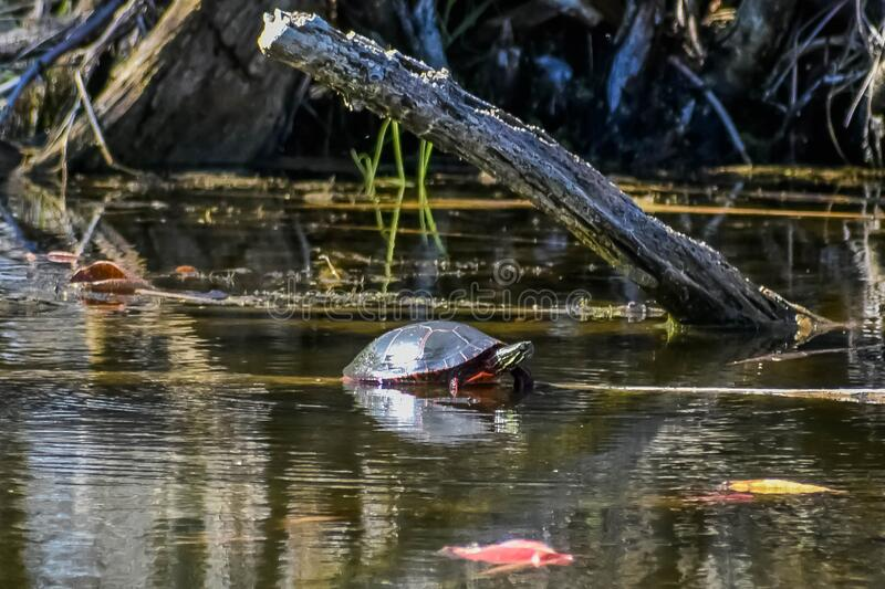 Single Painted Turtle in Lake royalty free stock photo