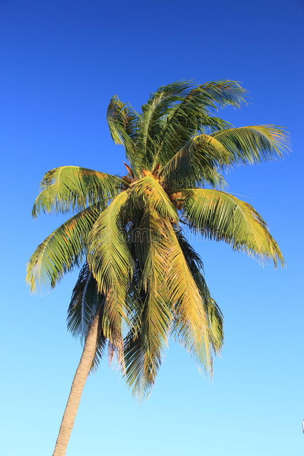 Download Single palm tree stock photo. Image of tropical, coconut - 13357870
