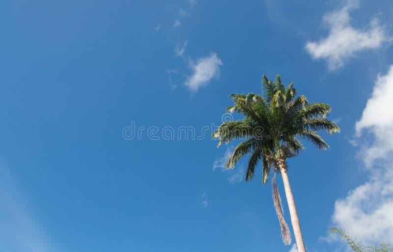 Single Palm Tree on Blue Sky royalty free stock image