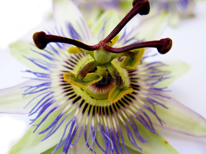 Download Single passiflora flower stock photo. Image of petals - 6250492