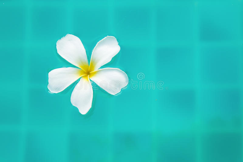 Single Peaceful Plumeria Flower Floating on Clear Rippling Water stock images