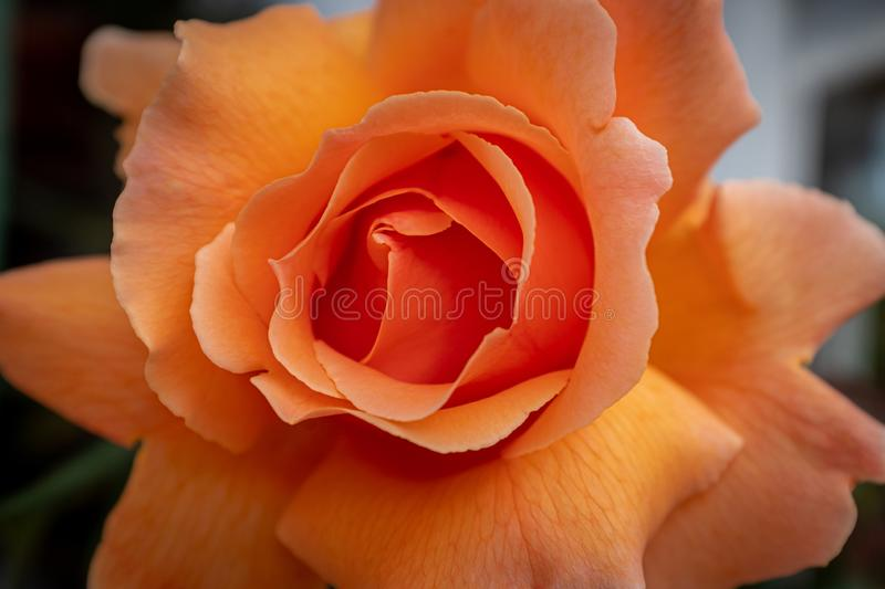 A single peach rose in full bloom, beautiful texture and colour. A close up of a single peach rose9 in full bloom, beautiful texture and colour stock photos
