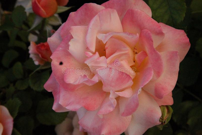 Single Peach Rose. With Greenery stock image