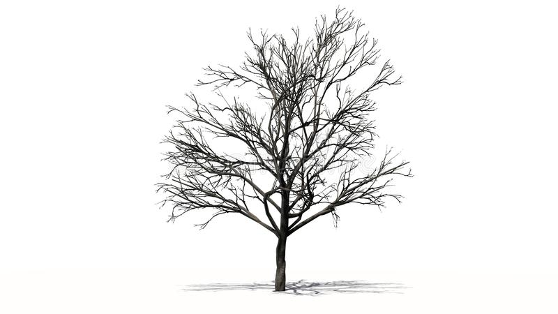 Single peach tree in the winter - separated on white background stock images