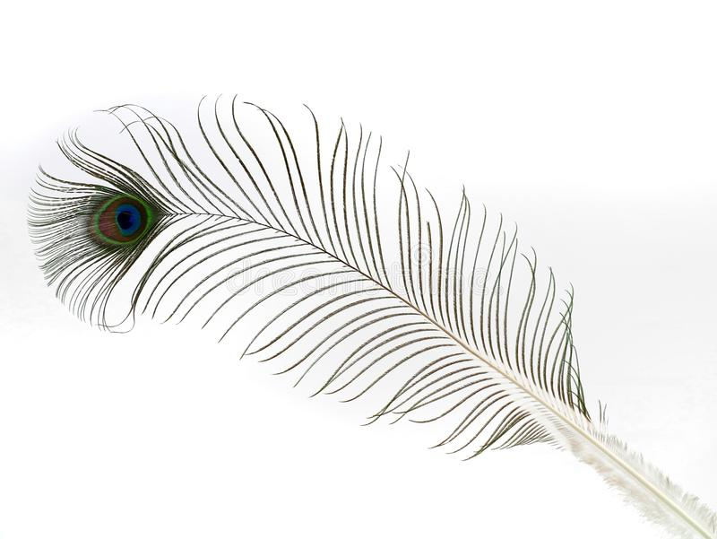 Single peacock feather isolated on white background stock images