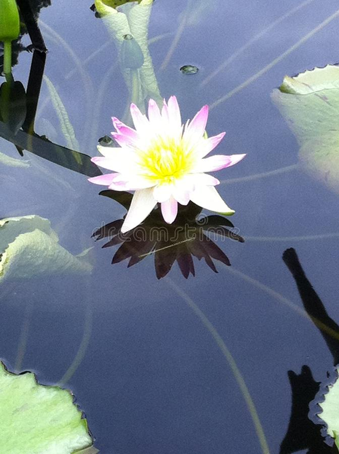 Single Perfect Water Lily stock photography