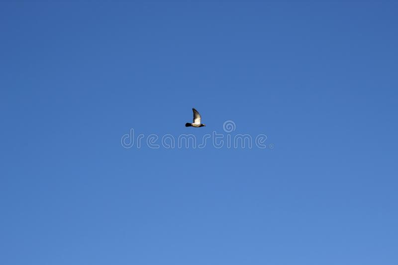 Single pigeon flying during summer day on the sunny blue sky,concep images.  stock photos