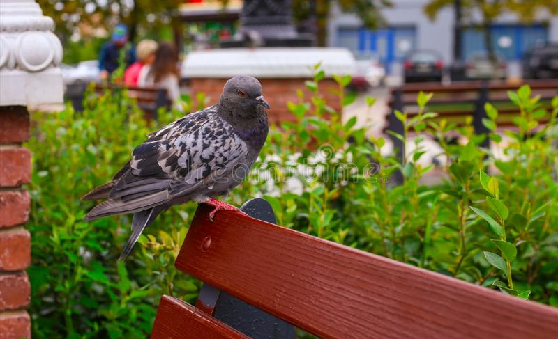 Single pigeon looks into the camera attentively, standing on a bench on one leg. Feeding pigeons in cities is killing ecosystem stock photo