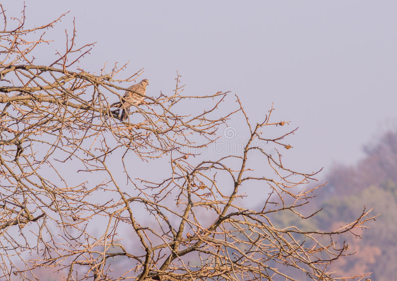 Single pigeon perched in a tree. With a overcast sky in the background royalty free stock images