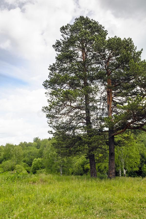 Single pine tree on the green meadow stock photography