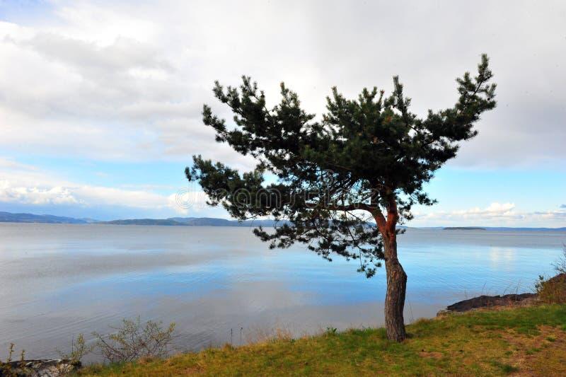 Single Pine Tree Overlooking Ocean royalty free stock photography