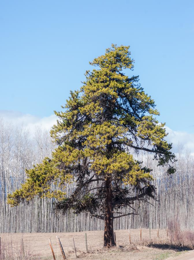 Free Single Pine Tree Under A Blue Sky Royalty Free Stock Photography - 144931447