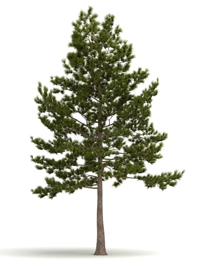 Single Pine Tree. ( white background vector illustration