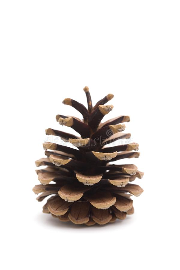 Pinecone on a White Background royalty free stock photo