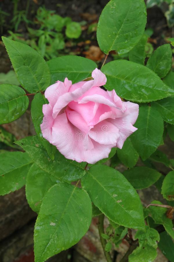 Single pink flower head on a pink rose in a garden. In late spring stock photography