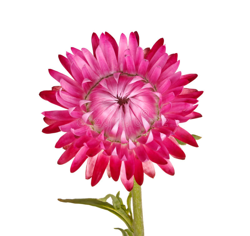 Single pink flower of a strawflower isolated on white stock photo
