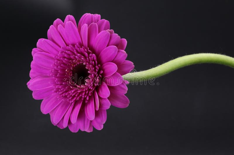 Single pink Gerbera with stalk isolated on black. Background royalty free stock photography