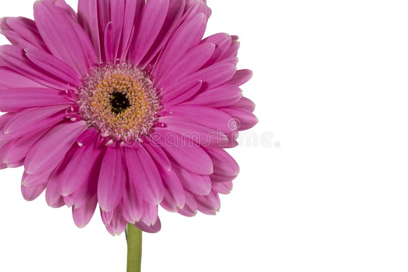 Single flower on a white background royalty free stock image