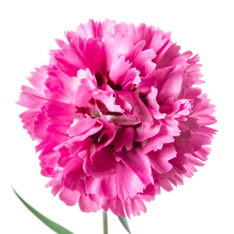 Single pink head carnation flower isolated on a white. stock photography