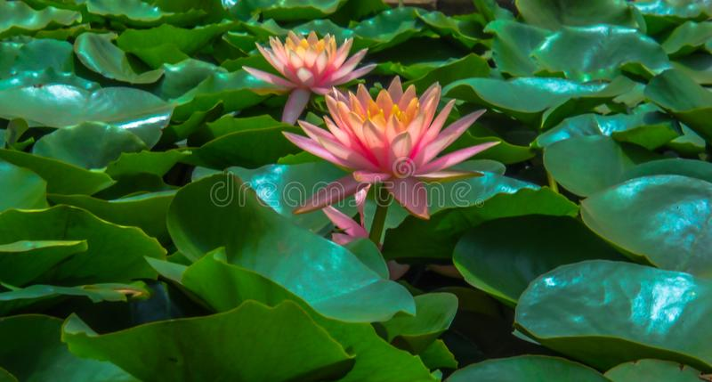 A single pink lotus flower in a pond surrounded by the green leaves royalty free stock images