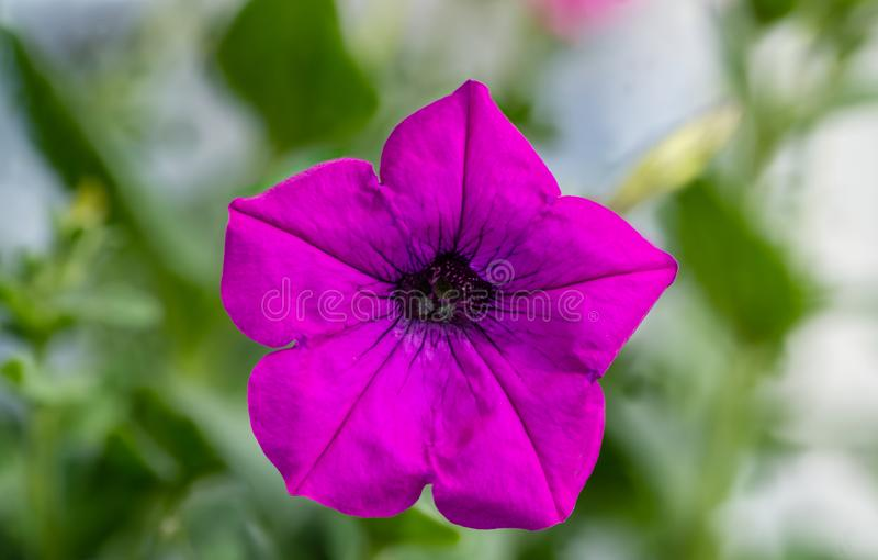 Single pink petunia isolated on green background stock photo