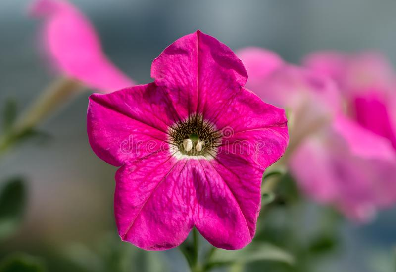 Single pink petunia isolated on green background stock images