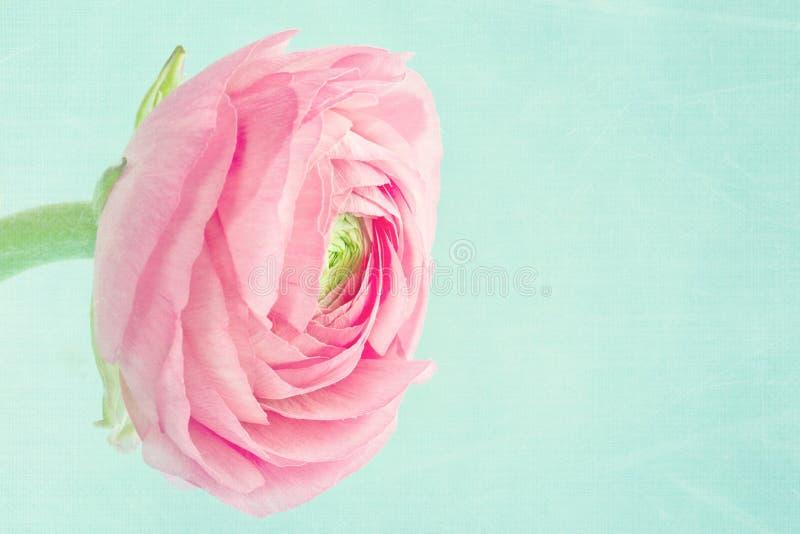 Single pink ranunculus on light blue background royalty free stock photo