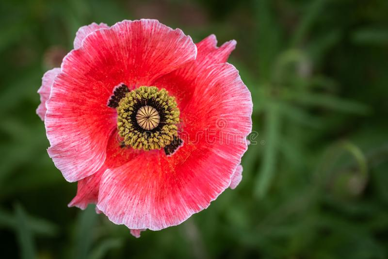 Single pink and red poppy close up. With yellow center royalty free stock photo