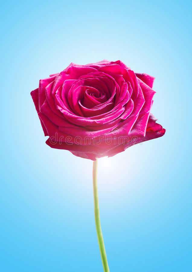 Download Single Pink Rose stock photo. Image of flower, rose, blue - 28970066