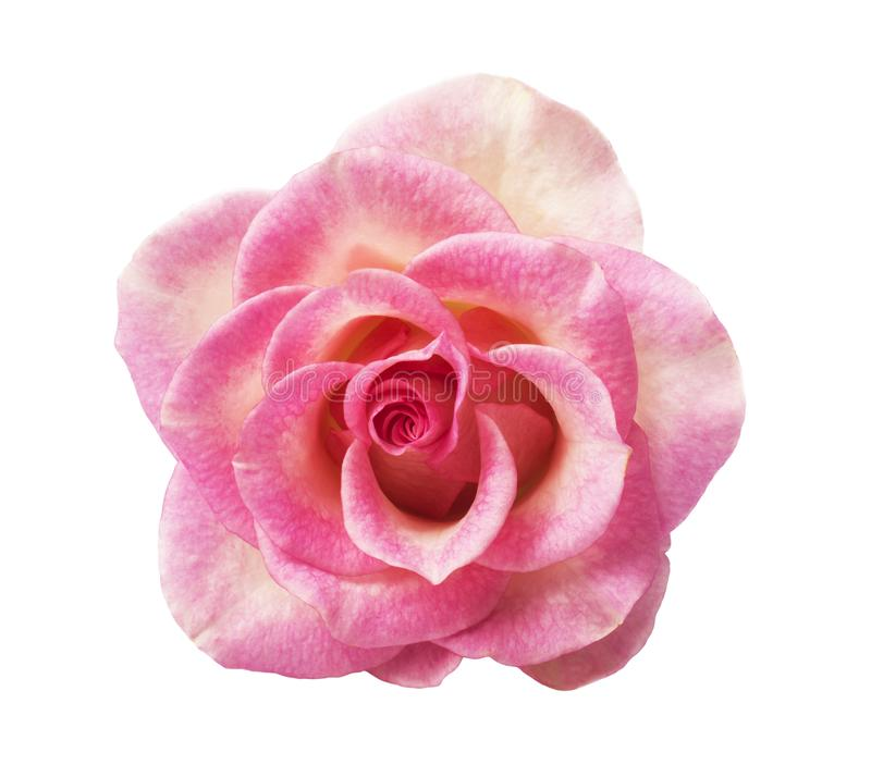 Single pink rose, isolated on white background royalty free stock photography