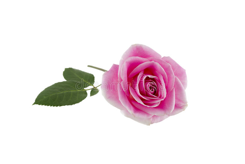 Single Pink Rose on White stock photo. Image of isolated ...  Single Pink Ros...