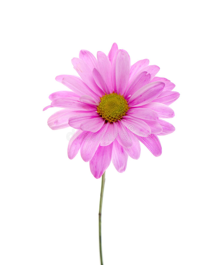 Download Single Pink Shasta Daisy Royalty Free Stock Photography - Image: 14269277