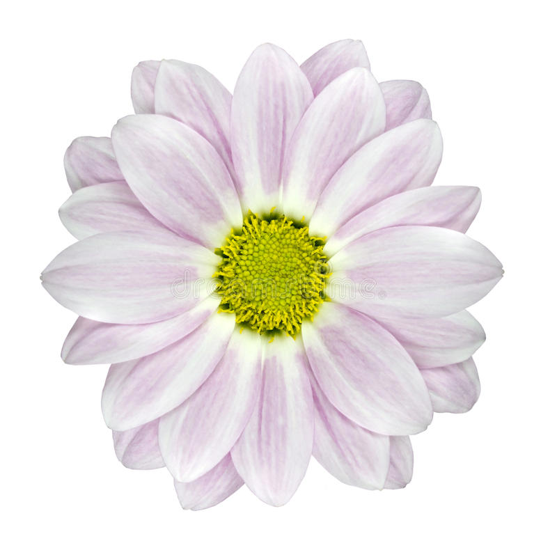Single Pink and White Dahlia Flower Isolated stock images