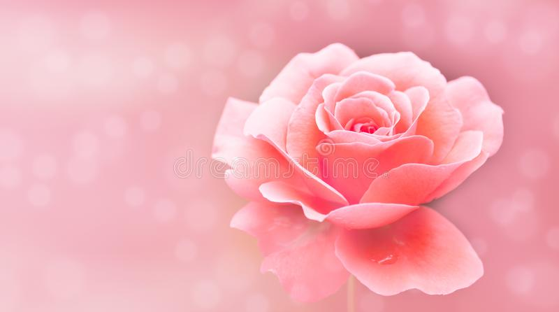 Single pink and white rose isolated pink selective soft blur background bokeh out of focus background with use of shallow depth stock images