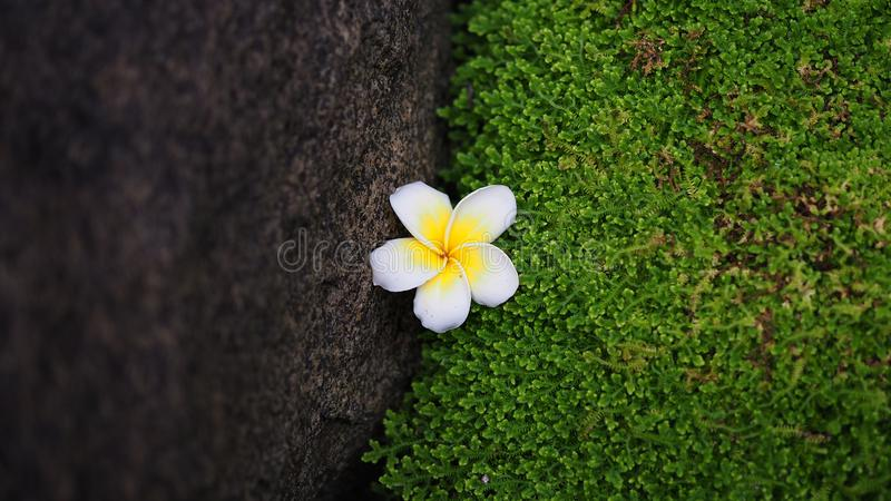 Single plumeria flower placed between green moss and rock textures. stock image