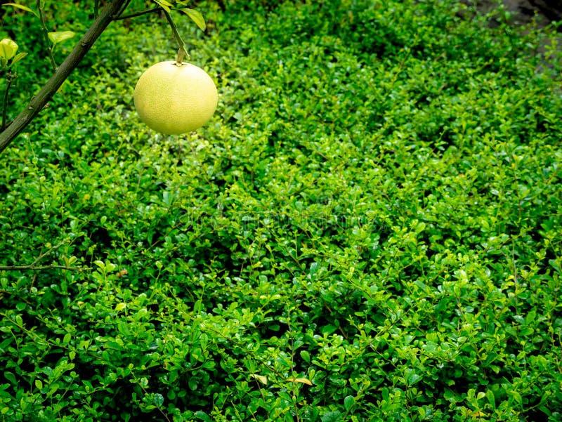 Single Pomelo Fruit Hanging stock photography