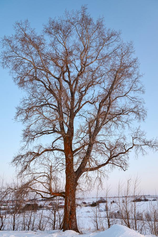 Single poplar near country side road in a winter day royalty free stock photography