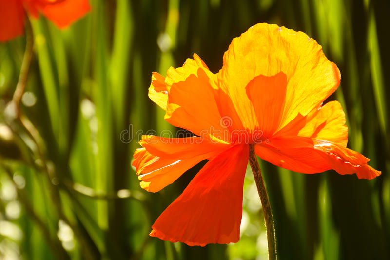 Single Poppy Flower. With Green Garden Background royalty free stock photo
