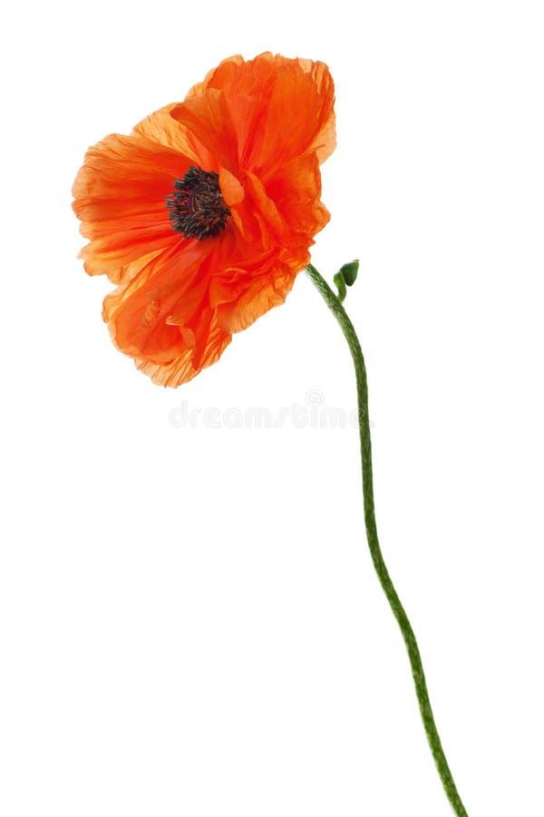 Free Single Poppy Isolated On White Background. Royalty Free Stock Photo - 35085055