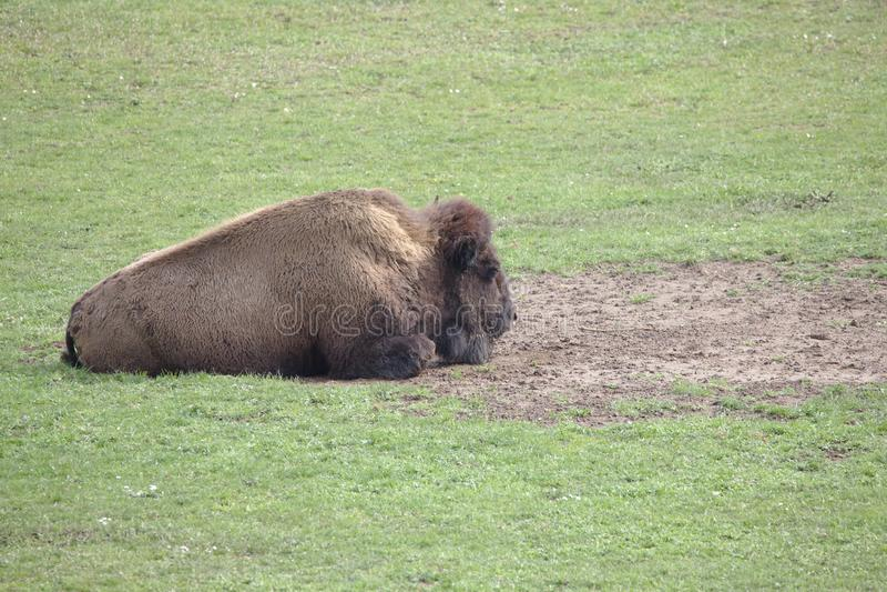 Single powerful buffalo / bison lying stock photography