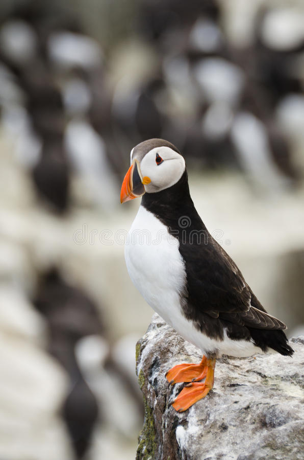 Single Puffin royalty free stock photos