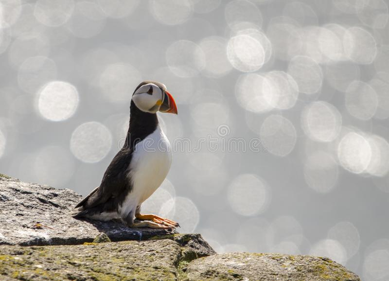 Single Puffin Seabirds. Puffin seabirds on the Isle of May, East coast of Scotland royalty free stock photo