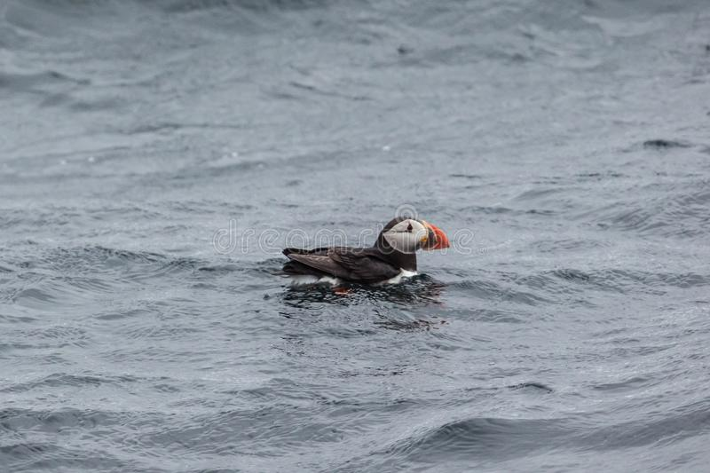 Single puffin swimming between the waves. Near Bleiksoya royalty free stock images