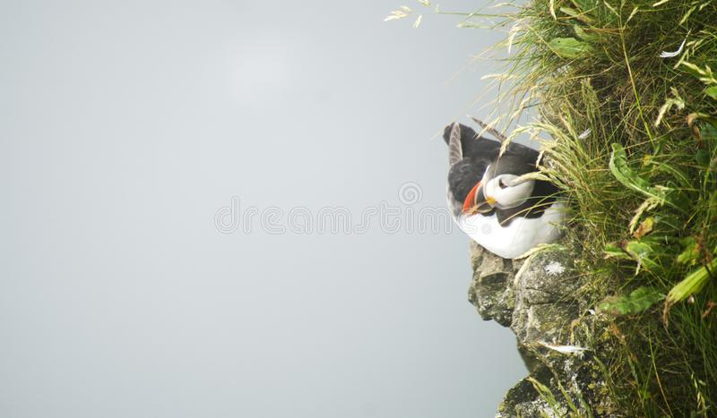 Small Puffin on a Cliff Edges. Single Puffins sitting in the grass on a cliff edge royalty free stock photography