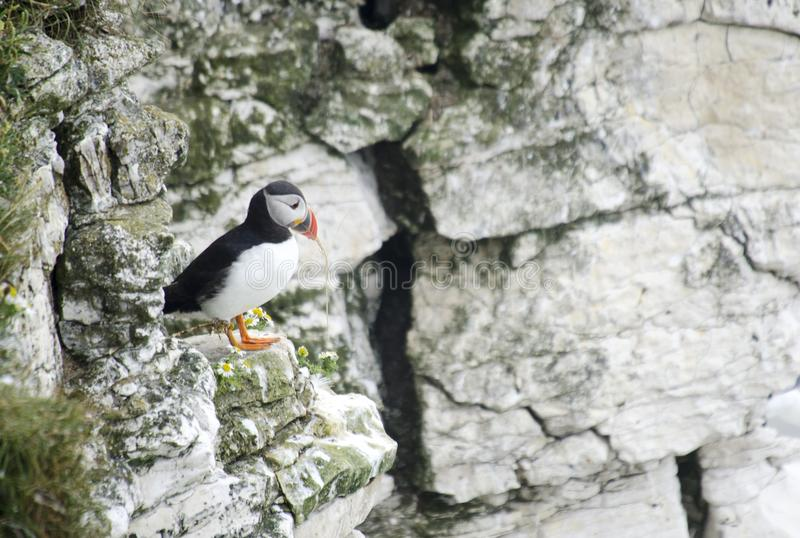 Small Puffin on a Cliff Edges. Single Puffins sitting in the grass on a cliff edge stock photos