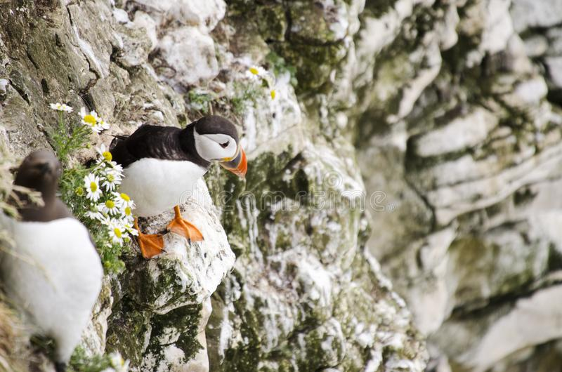 Small Puffin on a Cliff Edges. Single Puffins sitting in the grass on a cliff edge royalty free stock photos