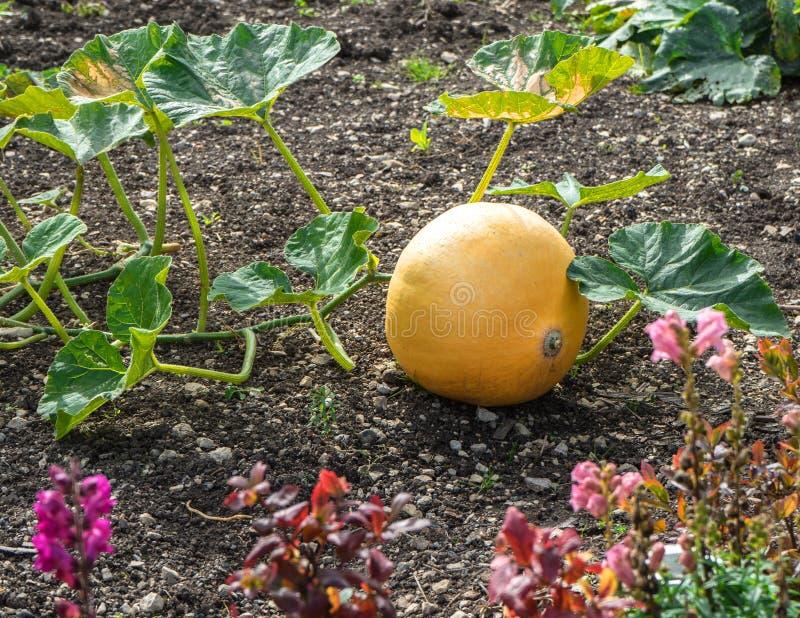Single pumpkin in the cottage garden stock photos