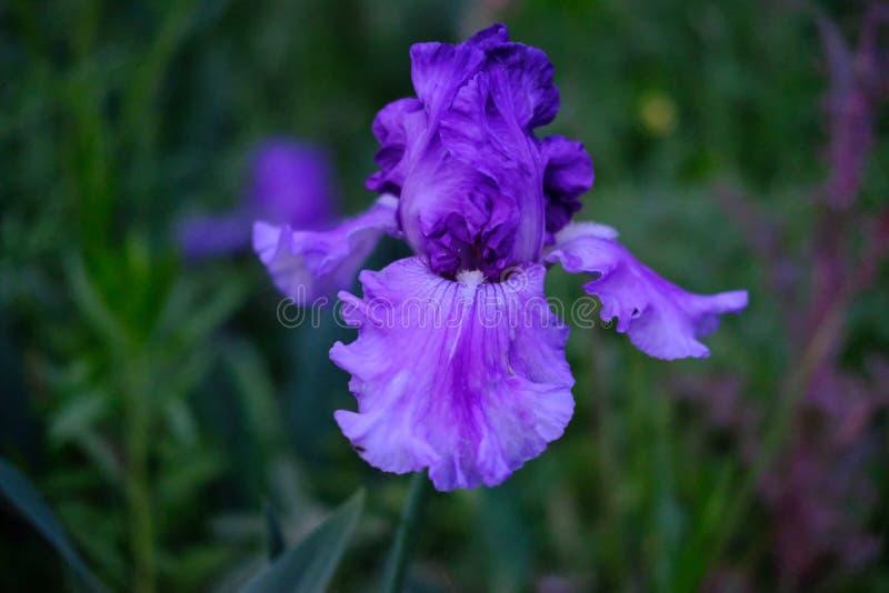 Purple iris. Single Purple iris , bokeh, dusk stock image